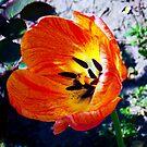 1483-orang tulip by elvira1