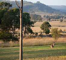 Kangaroos with their Joey -Vacy, NSW Australia by SNPenfold