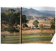 Kangaroos with their Joey -Vacy, NSW Australia Poster