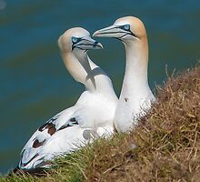 Gannets by David Charlton