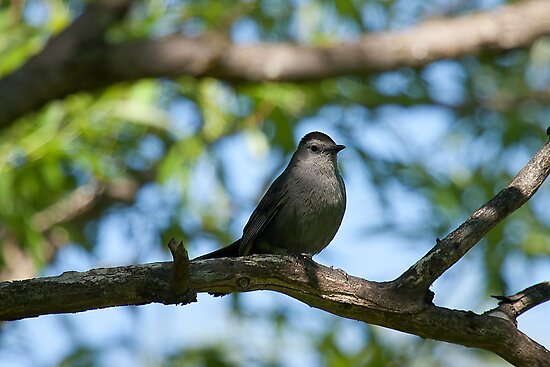 Grey Catbird by withacanon