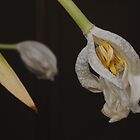 White Tulips by cuilcreations