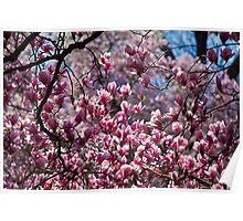 Spring. Magnolia Tree. Poster