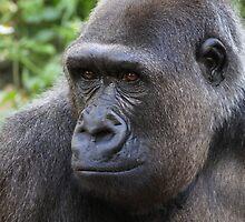 Western Lowland Gorilla by Carol Bailey White