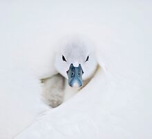 Little Cygnet by Jacky Parker