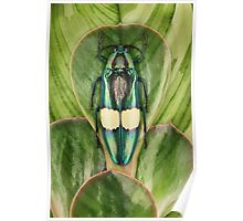 Beetle_Chrysochroa_saundersi Poster