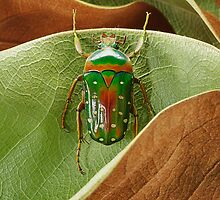 Beetle_Stephanorrhina_guttata by Paul Eekhoff