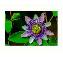Passion Flower Art Print