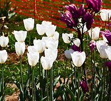 Oil Painting - White and purple tulips inside the Tulip Garden by ashishagarwal74