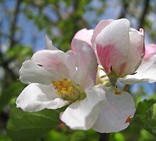 Apple blossom by Yorkspalette