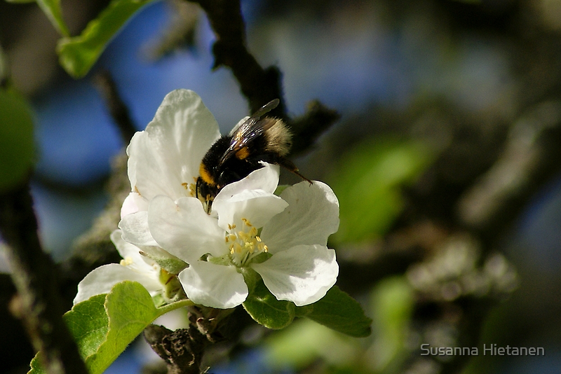 Flowers and the bee by Susanna Hietanen