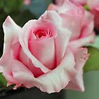 Baby Pink Rose by Keala