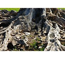 Roots of a Tree Photographic Print