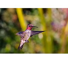 Male Anna's Hummingbird Photographic Print