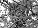 Screech Owl by Veronica Schultz
