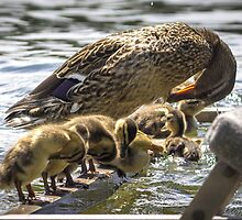 Mama Mallard's Preening Lesson by Mikell Herrick