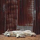 White Dingo by SD Smart