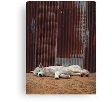 White Dingo Canvas Print