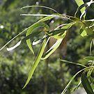 BOKEH: Gum Leaves by aussiebushstick