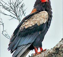 BATELEUR EAGLE - Terathopius ecaudatus - Berghaan by Magriet Meintjes