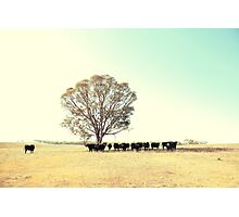 A Cow, A Tree and Some More Cows  Photographic Print