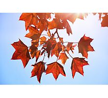 Sunlight on Red Leaves Photographic Print
