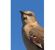 Mockingbird Portrait Photographic Print