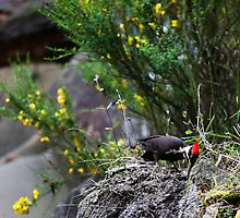 Pileated Woodpecker foraging on an outcrop by TerrillWelch