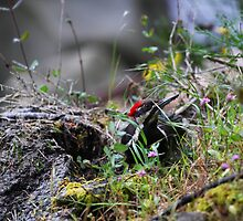 Pileated Woodpecker foraging for grubs by TerrillWelch