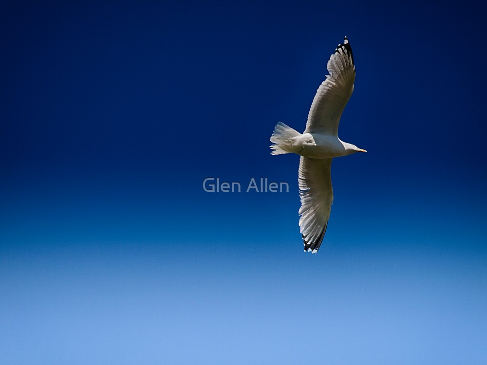 Gull by Glen Allen