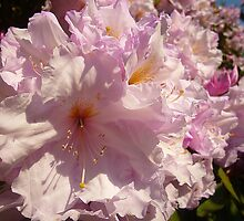 Rhododendron blossoms  by Antoinette B