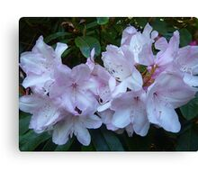 Rhododendron blossoms  Canvas Print