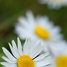 Camomiles by flashcompact