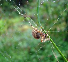 Orb Weaver Spider - Araneus by MotherNature
