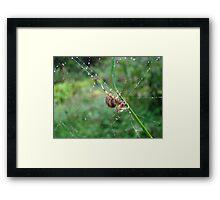 Orb Weaver Spider - Araneus Framed Print