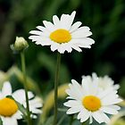 Shasta Daisies  by Stephen Thomas