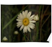 First Daisy of the year Poster