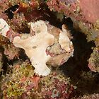Warty Anglerfish - Antennarius maculatus by Andrew Trevor-Jones