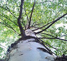 Birch tree by Arve Bettum