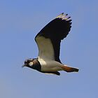 Lancashire: Lapwing in Flight by Rob Parsons