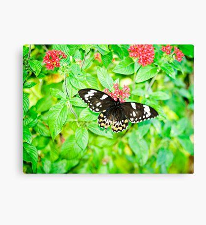 Gentle Giant - female Cairns birdwing butterfly Canvas Print