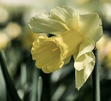 daffodil flower Close Up by printsbypixie