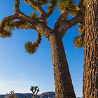 Joshua Tree by BGSPhoto