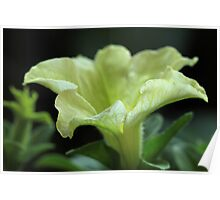 Lime Petunia Poster