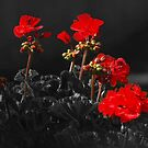 Geraniums by Bine