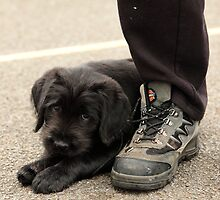 Puppy loves laces!! by AndyV