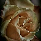 Just a rose by Nicole W.