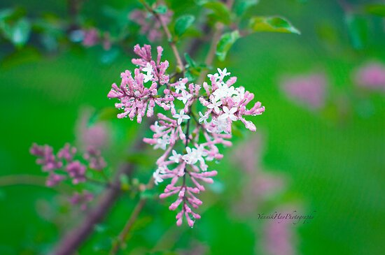 Blooming Lilac by Yannik Hay