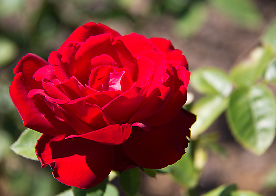Red Rose Blossom by ValeriesGallery