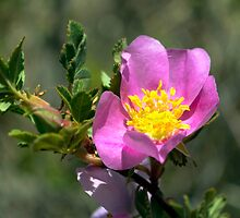 Arizona Wild Rose by George I. Davidson